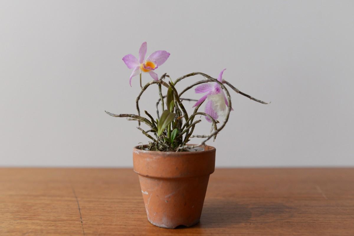 Dendrobium pieraldii